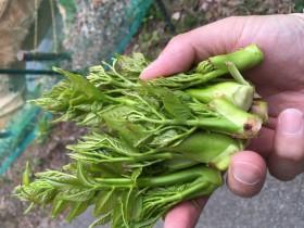 泰阜村山菜